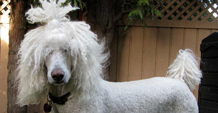 In the large dog category, top honors went to Moby, a 3-year-old standard poodle with Rasta style.