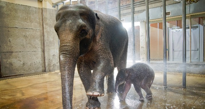 Asian elephant mom Rose-tu and her four day old calf get a bath from keepers in the elephant barn at the Oregon Zoo. © Oregon Zoo / photo by Michael Durham.
