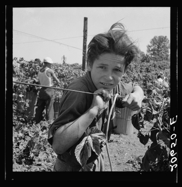 Migratory boy, aged eleven, and his grandmother work side by side picking hops. Started work at five a.m. Photograph made at noon. Temperature 105 degrees. Oregon, Polk County, near Independence.