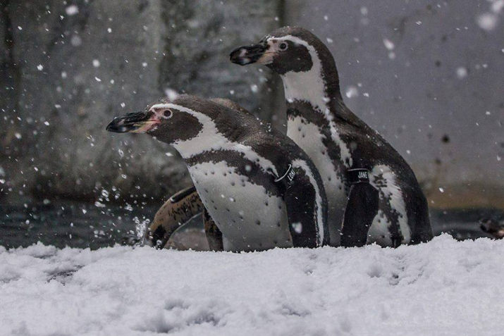 Humboldt penguins play in the snow at the Oregon Zoo. ©Oregon Zoo/ photo by Charlie Rutkowski
